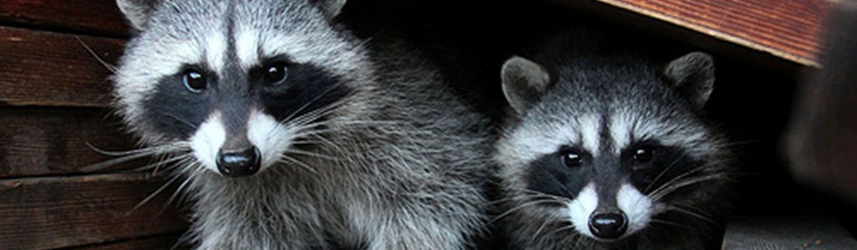 Raccoon Removal and Control